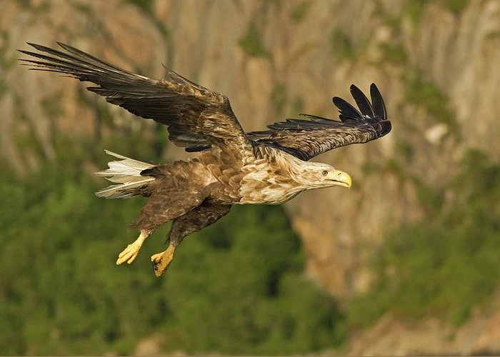 Bird Greeting Card featuring the photograph White-tailed Sea Eagle In Norway by Fritz Polking - Vwpics