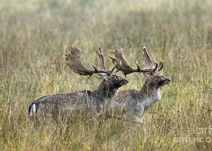 Fallow Deer Greeting Card featuring the photograph 110221p118 by Arterra Picture Library