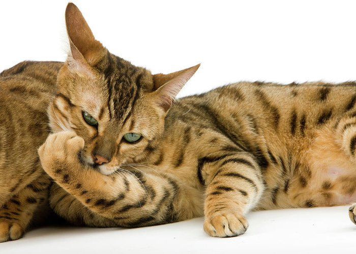 Adult Greeting Card featuring the photograph Bengal Brown Spotted Tabby by Gerard Lacz