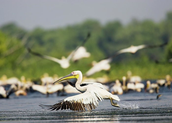 Flying White Pelicans Greeting Cards