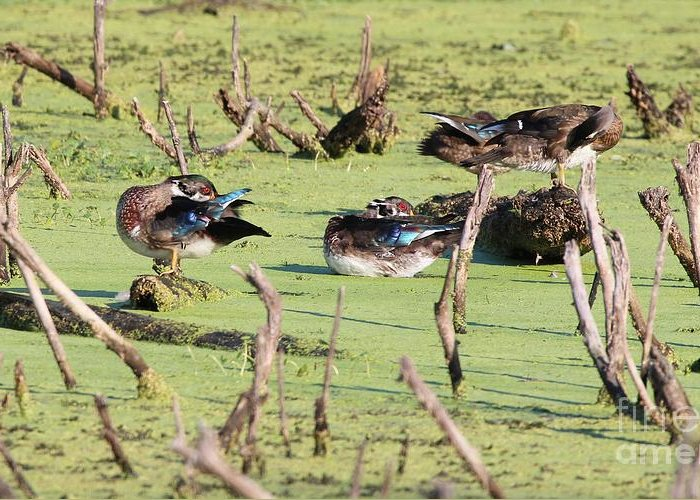 Nature Greeting Card featuring the photograph Wood Duck by Jack R Brock