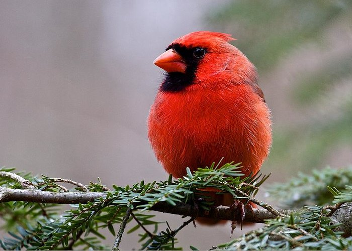 Nature Greeting Card featuring the photograph Northern Cardinal Male by Dan Ferrin