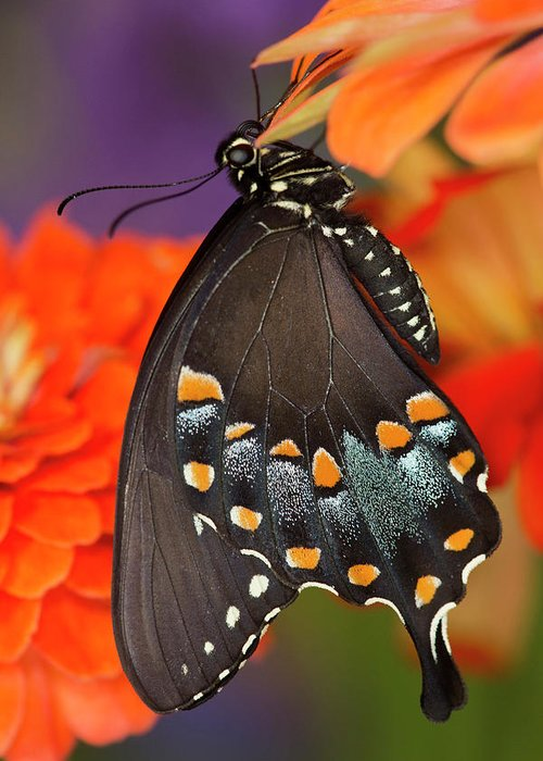 Spicebush Swallowtail Greeting Cards