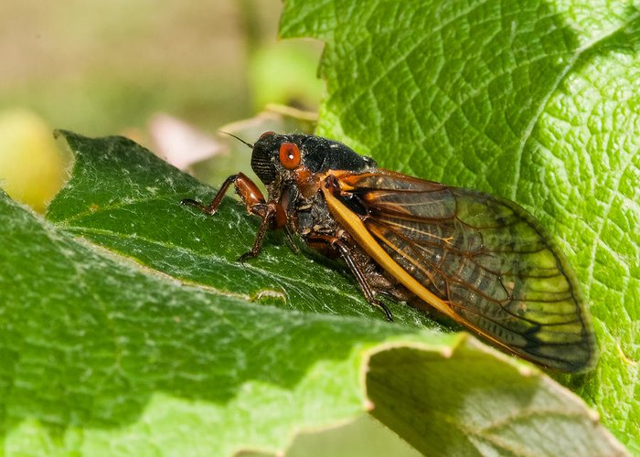 17 Year Cicada Greeting Card featuring the photograph 17 Year Cicada 2 by Lara Ellis