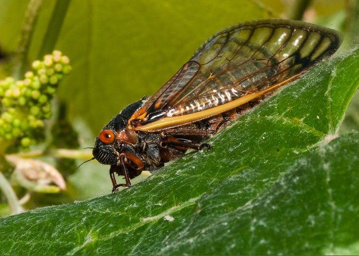 17 Year Cicada Greeting Card featuring the photograph 17 Year Cicada 3 by Lara Ellis