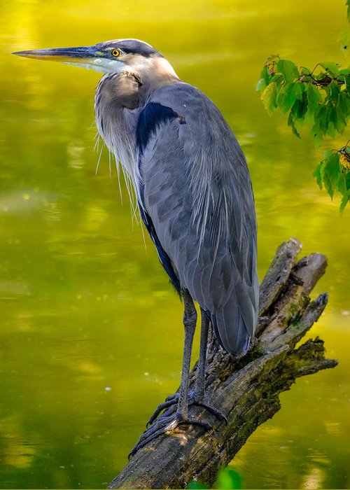 Greeting Card featuring the photograph Great Blue Heron by Brian Stevens