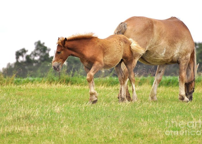 Amish Greeting Card featuring the photograph A Mare And Her Colt by Penny Neimiller