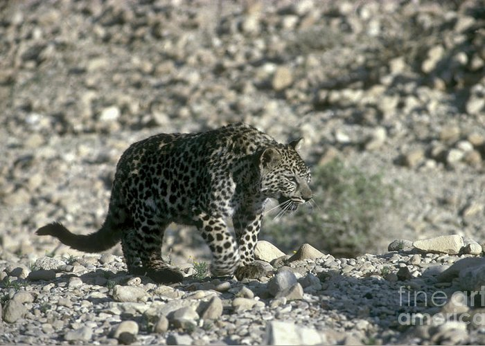 Leopard Greeting Card featuring the photograph Arabian Leopard Panthera Pardus 1 by Eyal Bartov