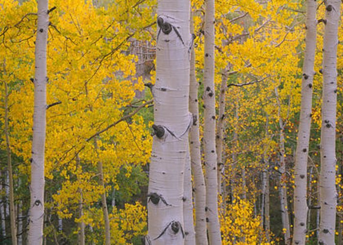 Photography Greeting Card featuring the photograph Aspen Trees In A Forest, Telluride, San by Panoramic Images