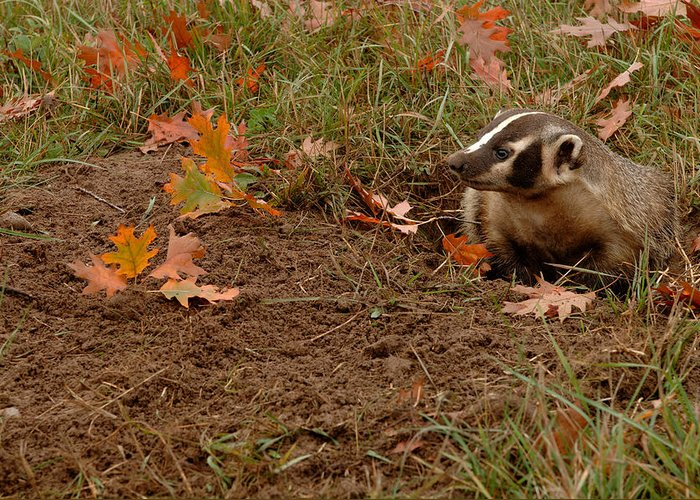Badger Greeting Card featuring the photograph Badger Taxidea Taxus by Carol Gregory