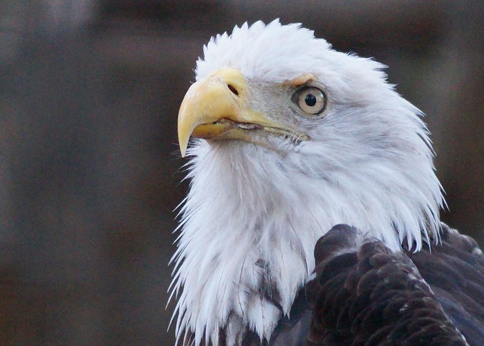 Animals Greeting Card featuring the photograph Bald-eagle-profile by Angelika Sauer