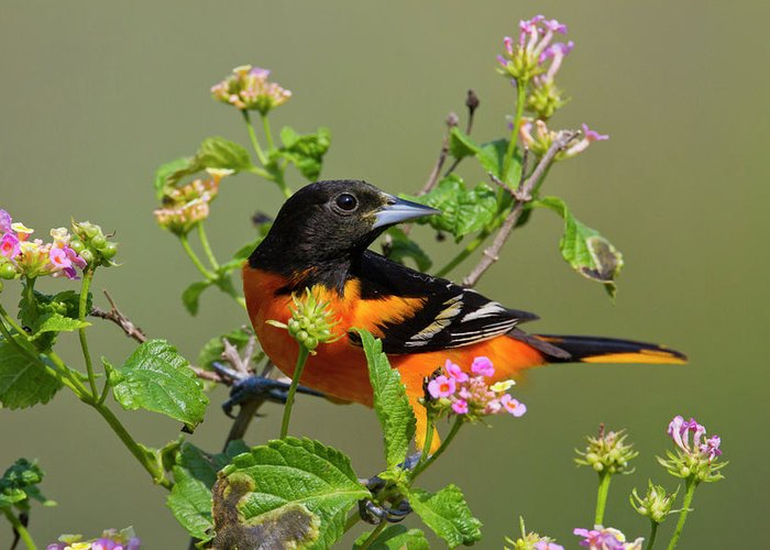 Adult Greeting Card featuring the photograph Baltimore Oriole (icterus Galbula by Larry Ditto