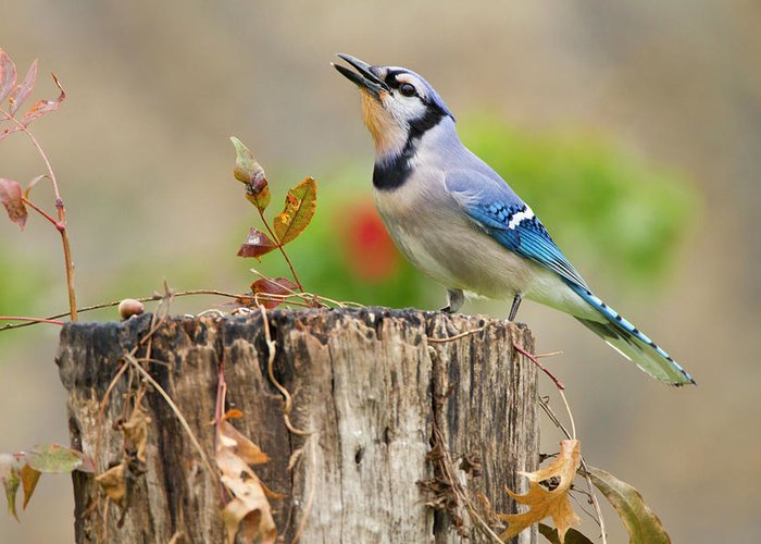 Acorn Greeting Card featuring the photograph Blue Jay (cyanocitta Cristata by Larry Ditto