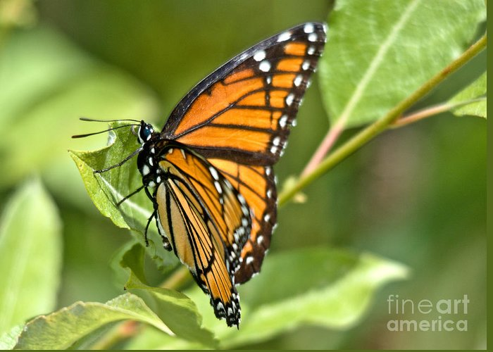 Monarch Greeting Card featuring the photograph Busy Butterfly by Cheryl Baxter
