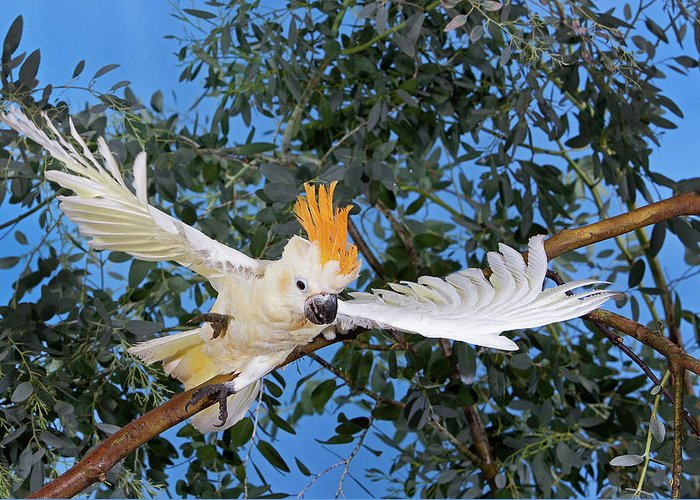 Adult Greeting Card featuring the photograph Cacatoes A Huppe Orange Cacatua by Gerard Lacz