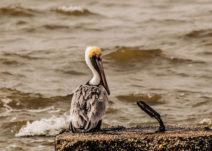 Pelican Greeting Card featuring the photograph Camera Shy by Kim Loftis