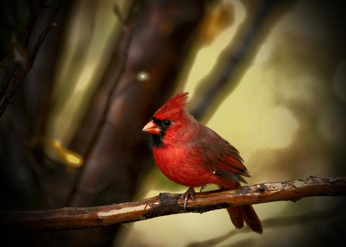 Red Cardinal Greeting Card featuring the photograph Cardinal Pose by Karol Livote