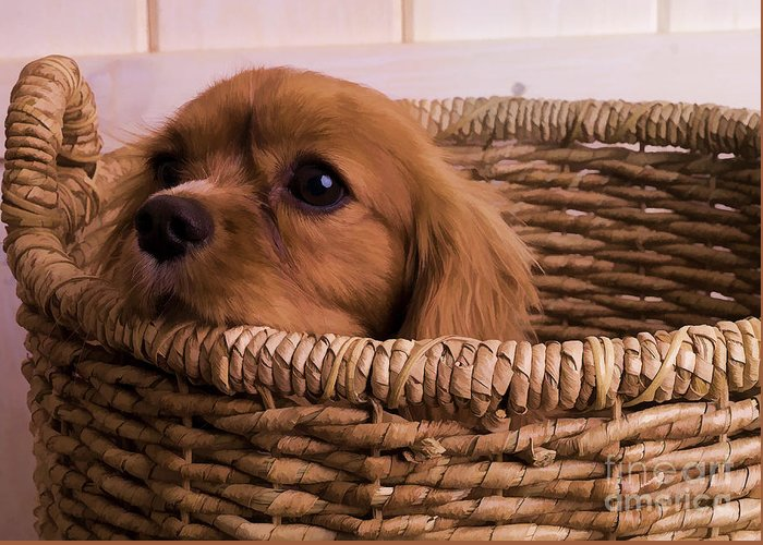Max Dog King Charles Spaniel Pet Basket Cavalier Greeting Card featuring the photograph Cavalier King Charles Spaniel Puppy In Basket by Edward Fielding
