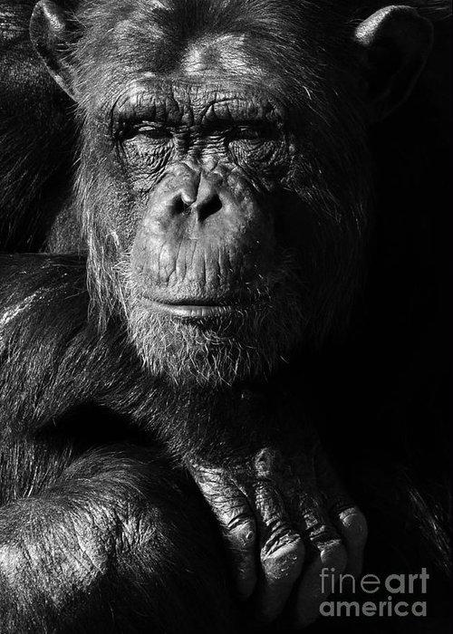 Chimp Greeting Card featuring the photograph Chimpanzee Monochrome Portrait by Aleksandar Mijatovic