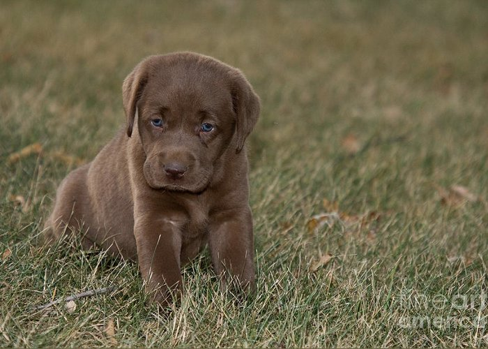 Chocolate Labrador Greeting Card featuring the photograph Chocolate Labrador Puppy by Linda Freshwaters Arndt