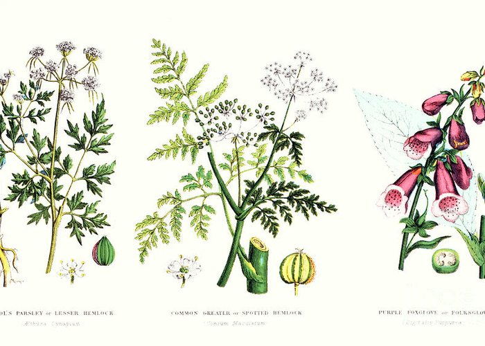 Botany; Botanical; Medicine; Medical; Plant; Flower; Flowers; Toxic Greeting Card featuring the painting Common Poisonous Plants by English School