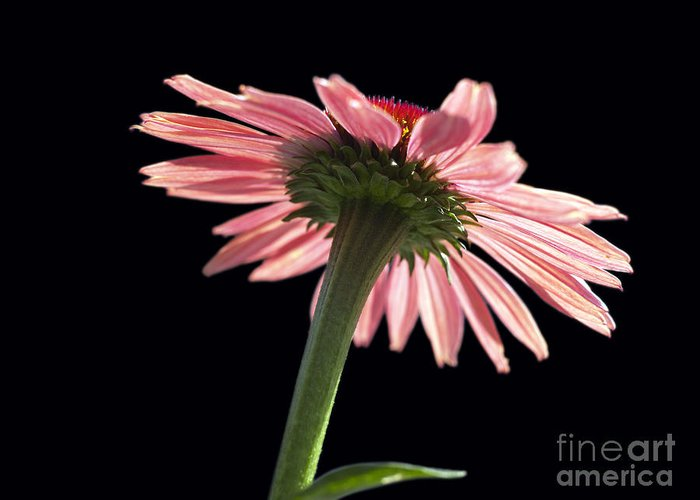 Echinacea Greeting Card featuring the photograph Coneflower by Tony Cordoza