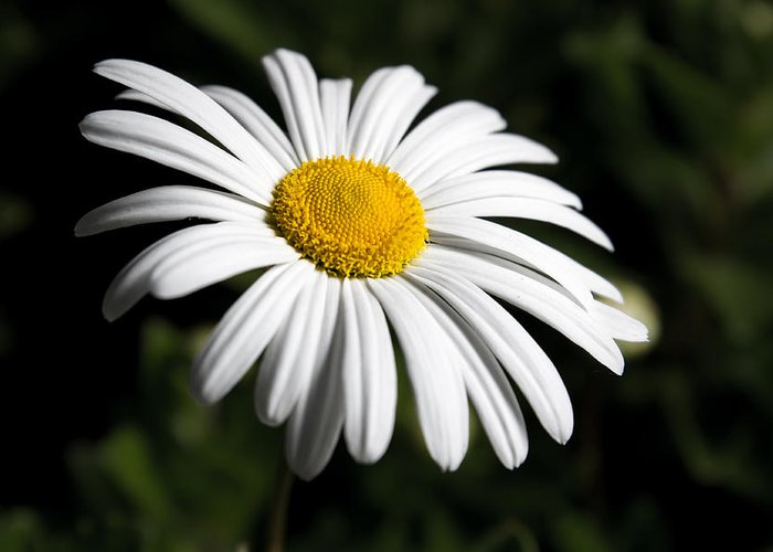Flower Greeting Card featuring the photograph Daisy In The Garden by Ron Pate