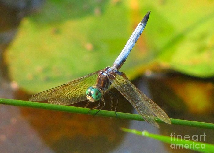 Dragonfly Greeting Card featuring the photograph Dragonfly by Rrrose Pix