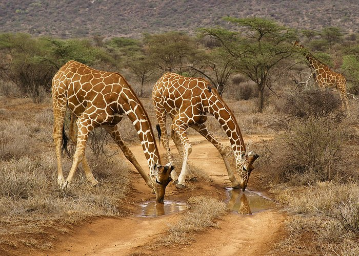 Africa Greeting Card featuring the photograph Drinking in Tandem by Michele Burgess