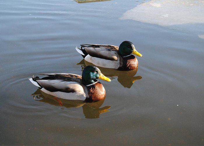 Ducks Greeting Card featuring the photograph Ducks On Water by FL collection