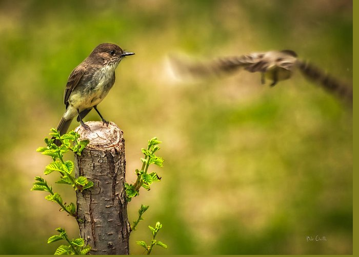 Eastern Phoebe Greeting Card featuring the photograph Eastern Phoebe by Bob Orsillo