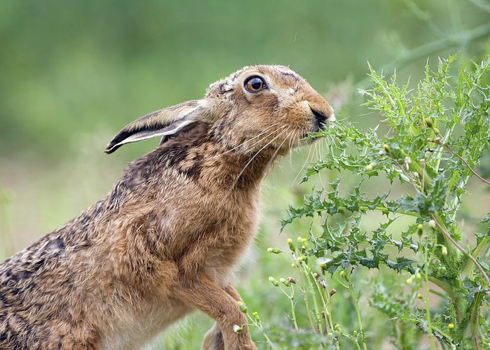 European Hare Greeting Cards