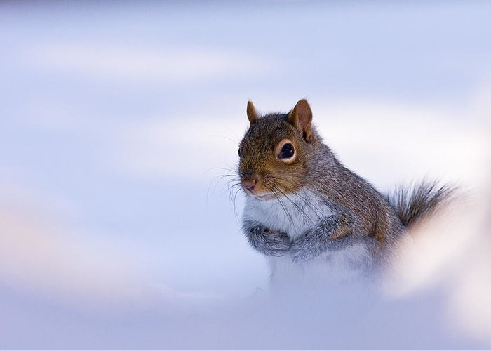 Grey Greeting Card featuring the photograph Grey Squirrel In Snow by Jeff Sinon
