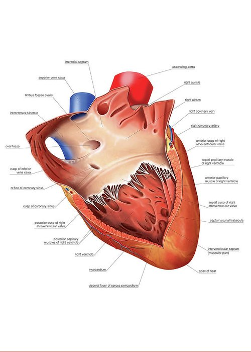 Ventricles Greeting Cards