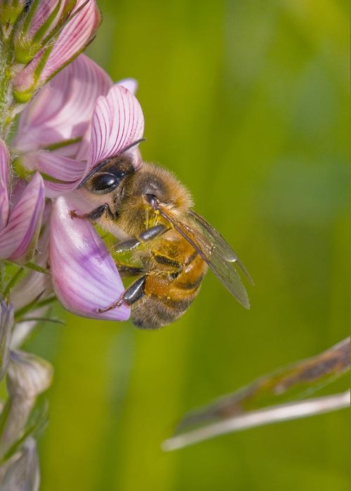 Europe Greeting Card featuring the photograph Honey Bee Feeding On Flower by Science Photo Library