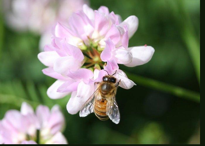 Honeybee Greeting Card featuring the photograph Honeybee On Crown Vetch by Lucinda VanVleck