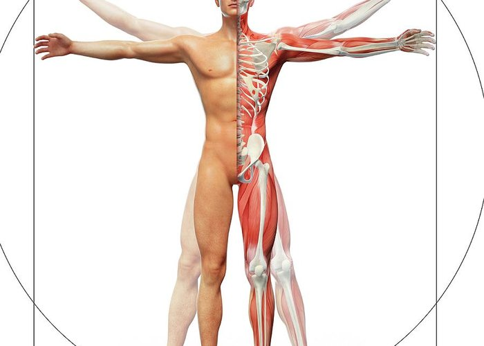 Human Musculoskeletal System Greeting Card for Sale by Andrzej Wojcicki