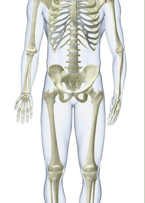 Anatomical Model Greeting Card featuring the photograph Human Skeleton by Dorling Kindersley/uig