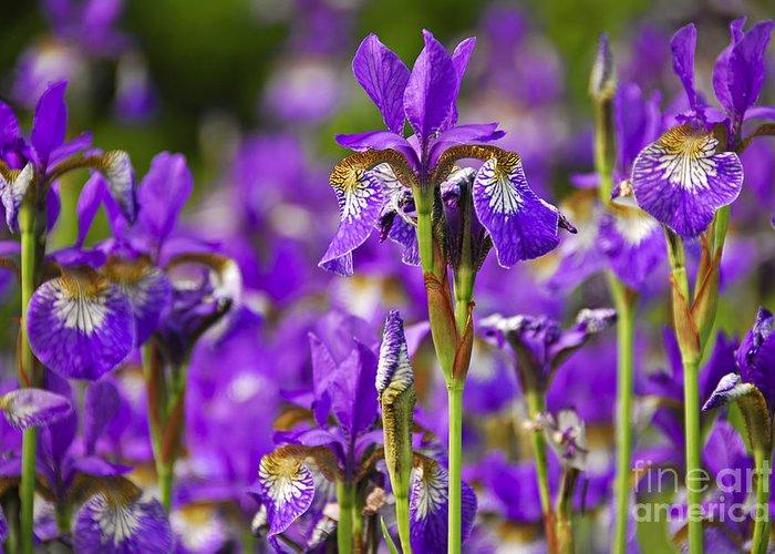 Iris Greeting Card featuring the photograph Irises by Elena Elisseeva