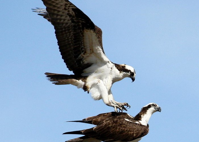 Osprey Greeting Card featuring the photograph Love Hurts by Annie Babineau