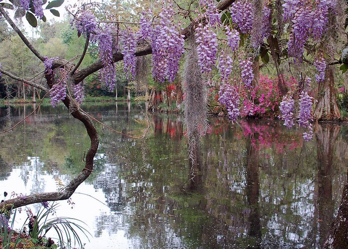 Wisteria Greeting Card featuring the photograph Magnolia Plantation Gardens Series II by Suzanne Gaff