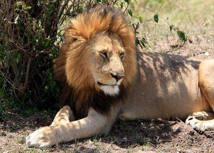 Africa Greeting Card featuring the photograph Male Lion On The Masai Mara by Aidan Moran