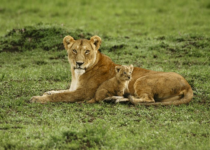 Lion Greeting Card featuring the photograph Mama's Little Baby by Michele Burgess