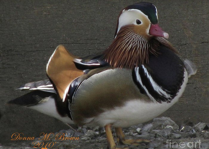 Duck Greeting Card featuring the photograph Mandarin Duck by Donna Brown