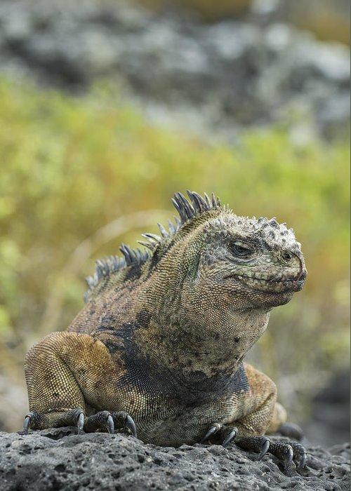 534128 Greeting Card featuring the photograph Marine Iguana Santa Cruz Isl Galapagos by Tui De Roy