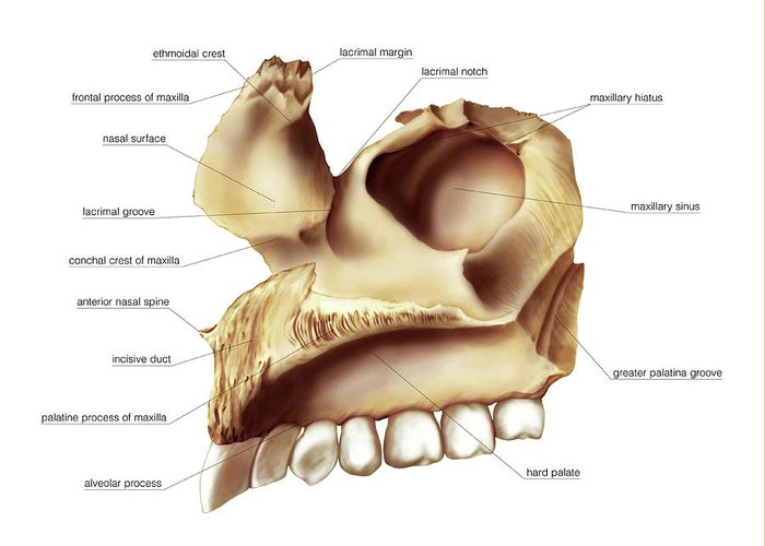 anatomy greeting card featuring the photograph maxilla bone by asklepios medical atlas