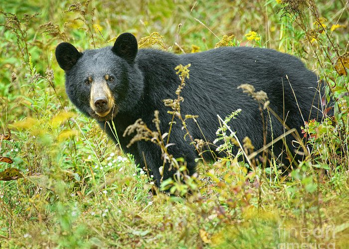 Bear Greeting Card featuring the photograph Meadow Black Bear by Timothy Flanigan