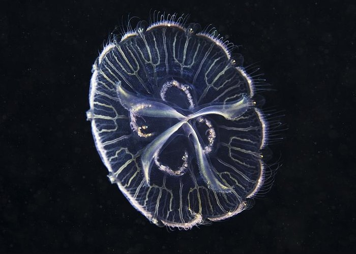 Aurelia Aurita Greeting Card featuring the photograph Moon Jellyfish by Science Photo Library
