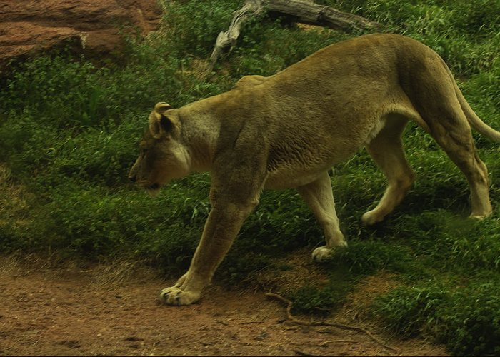 Cougar Greeting Card featuring the photograph On The Prowl by Lindy Spencer