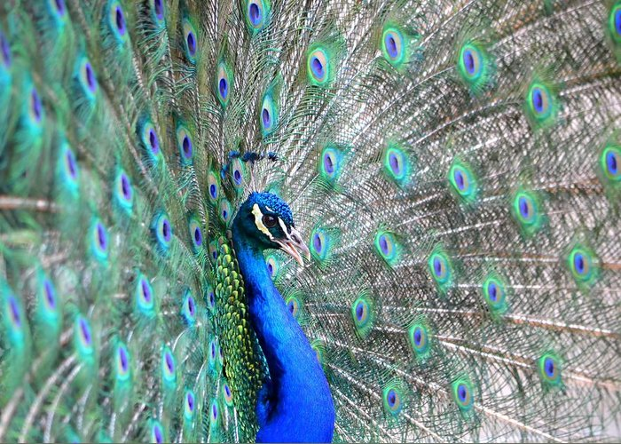 Peacock Greeting Card featuring the photograph Proud by Deena Stoddard